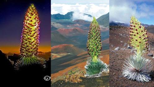 """90年开一次的""""凤凰花"""",长在夏威夷火山旁,开花宛如浴火重生"""