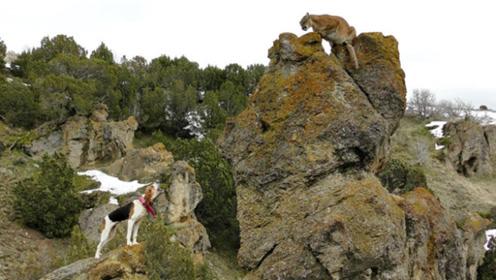 三条狗遇到山狮,结果山狮被堵在石头上不敢下来,镜头拍下全程