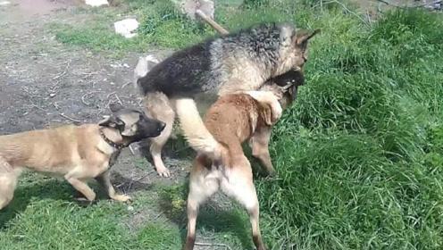 外来狗子不怀好意,大黄狗却也不好惹,一旁母狗急得不知所措