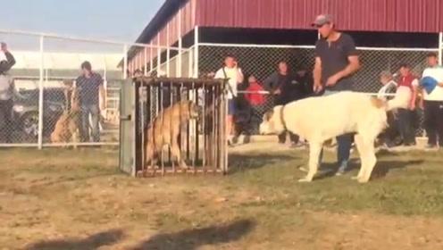 野兽和家畜的区别,关着的野狼和一只巨型犬,差距一目了然