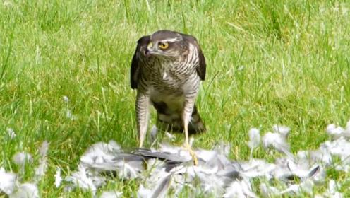 雀鹰抓住了一只鸽子,结果被两只喜鹊疯狂骚扰,真是太搞笑了