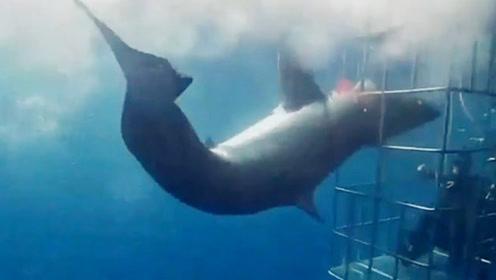 实拍:大白鲨攻击鲨笼被卡住头部 鲨躯剧烈摆动欲挣脱 终失败身亡