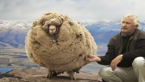 """新西兰""""网红羊"""",为躲剪羊毛离家6年,剪完毛后被总理接见!"""