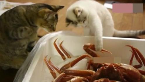 猫咪第一次见到螃蟹,下一秒的反应,看完让人笑哭了