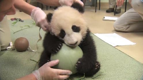 饲养员拿走熊猫的球,熊猫当场变脸,拿竹子都哄不好了