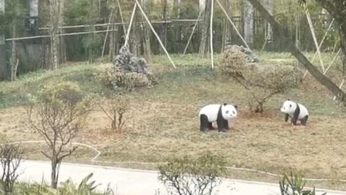 """网红大熊猫移居南宁""""打工"""",粉丝喊话:务必阻止投喂酸笋!"""