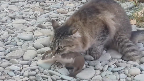 黄鼠狼刚出门就遇见猫咪,确认过眼神后,猫咪遇见了对的鼠