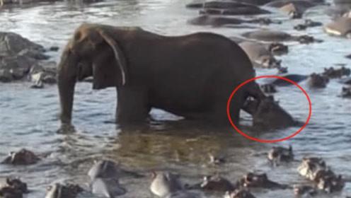 一只大象被百只河马围观,场面到底有多激烈,结果让人意想不到