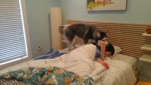 二哈想叫主人陪自己做早饭,结果一碰到床,四肢无力躺下睡了起来