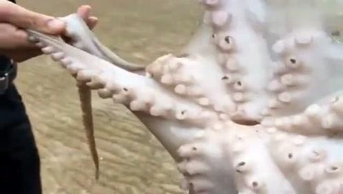 渔民清理八爪鱼,用剪子把牙抠出来,这样其它的地方都能吃了吗?