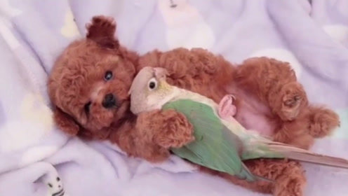 鹦鹉从小就照顾泰迪,泰迪长大后,却是这番景象!
