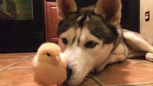 主人让哈士奇照顾小鸡,2个月后画风突变,大家忍住别笑