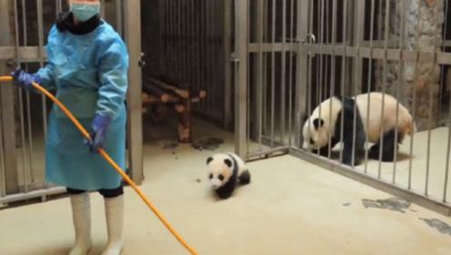 小熊猫越狱被奶妈发现,不料接下来熊猫妈妈的举动,才是我的笑点