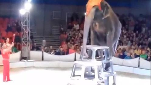大象在表演的时候失误从高处摔下