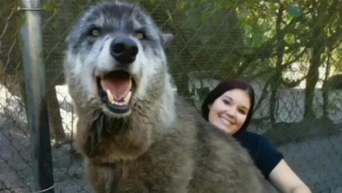 女子救下巨无霸狼犬,11年后越养越不对劲,网友:这是什么动物?