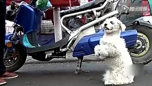 实拍狗狗拉便遭当街罚站萌呆路人