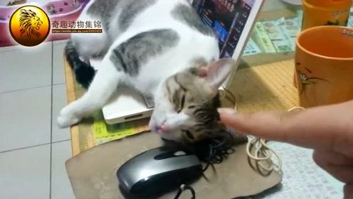这个腹黑猫咪为了博得关注,抢占了主人电脑不说还顶嘴死赖着不走