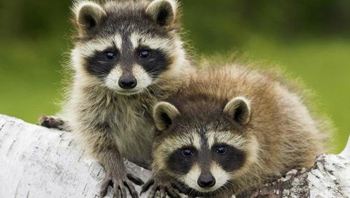 原产美洲的浣熊,因为一部动画片在日本泛滥成灾