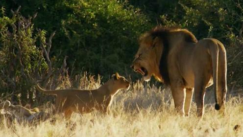 小狮子第一次见狮子王父亲,母狮子紧张是有道理的