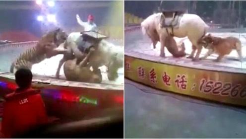 马戏团排练出意外 白马遭老虎狮子疯狂围攻撕咬