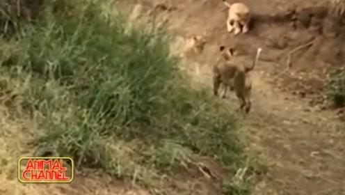 蜜灌不愧是世界上最勇猛的动物,面对狮群丝毫不退缩
