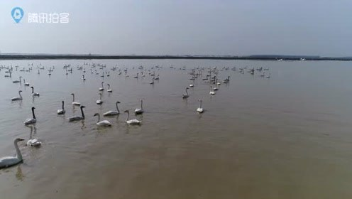 """数千只小天鹅洞庭湖越冬 上演现实版""""天鹅湖""""自然美景"""