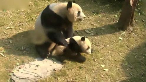 """熊猫妈妈过年大扫除把娃当""""扫把"""",哈哈亲生的无疑了"""