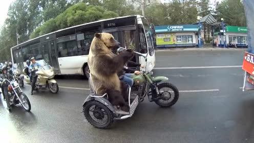 彻底成精了!看战斗民族的大熊上街,全程是焦点