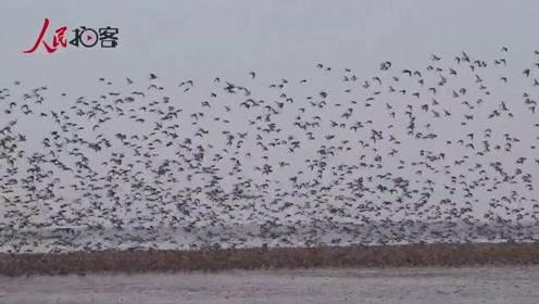 震撼!辽东港湿地迎来数十万候鸟大迁徙