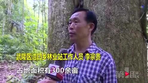 武隆:发现大规模野生金丝楠木群