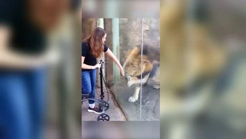 狮子撒娇打滚卖萌 只因想要游客的滑板车