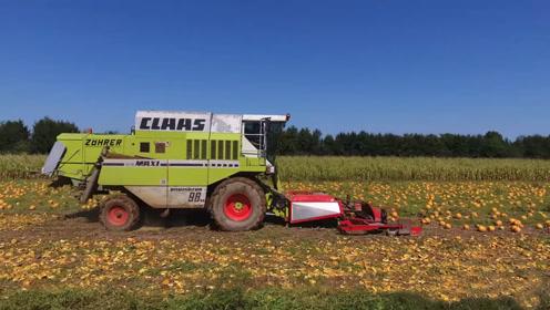 还用克拉斯收割小麦?看两台克拉斯收割机如何收获南瓜籽!