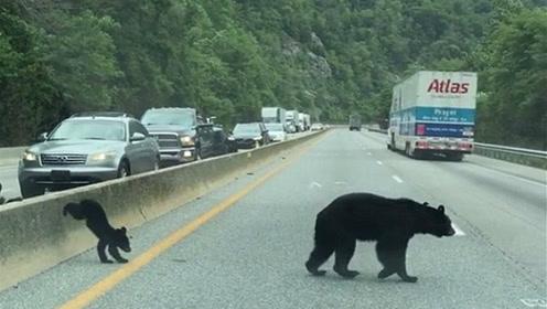 三小熊跟妈妈横穿公路 司机暖心让行致拥堵_01