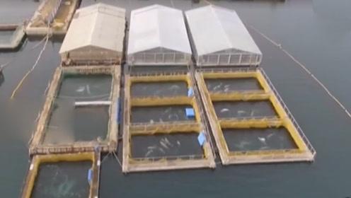 上百头鲸被困狭小水槽圈养 它们或被卖给水族馆