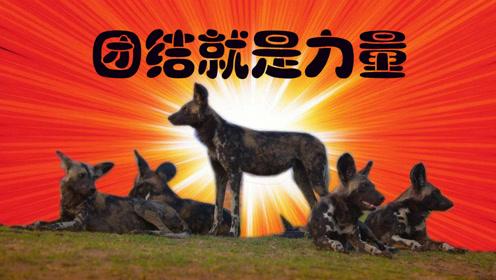 《王朝》饭制:最有团队精神的动物之一:杂色狼