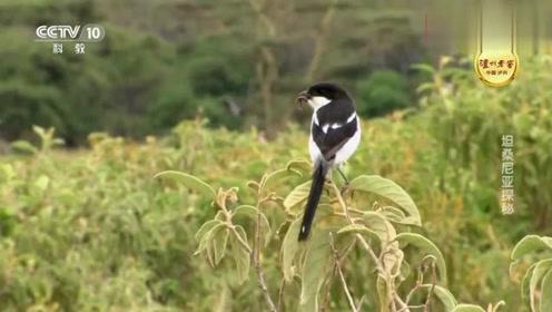 冠鹤们带着幼鸟去觅食,一只老鹰发现了它们,结局让人意外