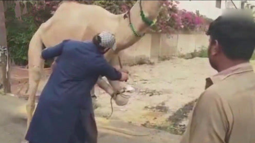 男子当街试图宰杀骆驼 不料被对方一脚踹翻不省人事