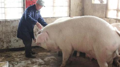 一头猪一直不杀能够长到多大?有点意料之外