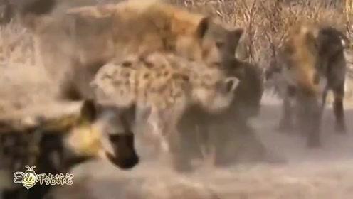 鬣狗捕食小牛羚,抓住机会直接拿下,镜头拍下全过程!