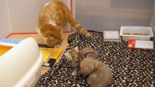 小猫咪第一次见到猫爸爸 会有什么反应呢