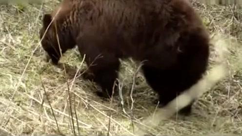 自然传奇:黑熊妈妈幸福养育双胞胎幼崽,黑熊宝宝萌态百出