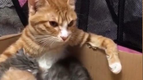 猫咪明明在奶孩子,却喂出了大哥的气势