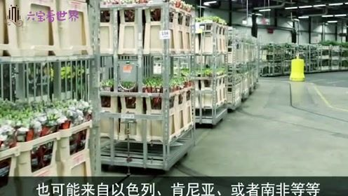 全球最大花卉市场:占世界80%花卉份额,网友:真的是太漂亮了