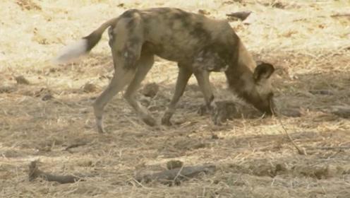 野狗的嗅觉灵敏,一只野狗在草原上不断低嗅,试图寻找食物!
