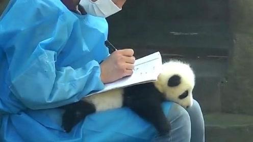 """饲养员写字,熊猫宝宝竟秒变""""桌子"""",小团子:放开我,我是国宝啊"""