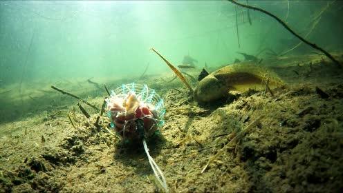 """鸡贼!水下摄像机超清实拍,小乌龟如何""""偷走""""网兜里的鸡心"""