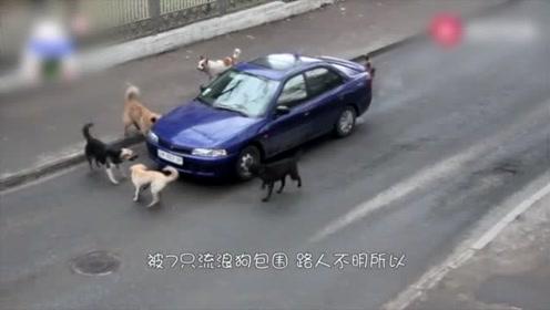 7只流浪狗包围一辆小车,司机紧张得连忙踩油门,镜头拍下全程