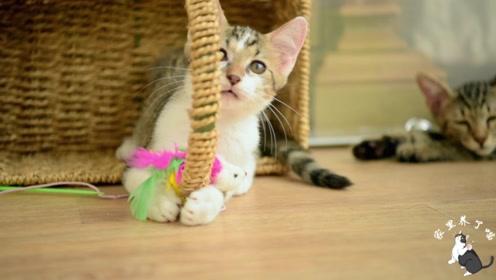 救回来的小奶猫奄奄一息,经过一个多月的治疗,铲屎官感叹:心累