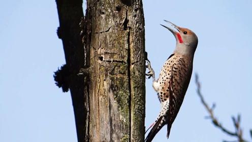 啄木鸟上一秒还悠闲自得,下秒意外发生,镜头记录全过程