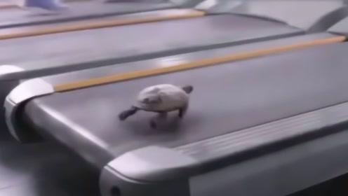 乌龟到底能跑多块?老外将其放在跑步机上,启动瞬间颠覆想象!